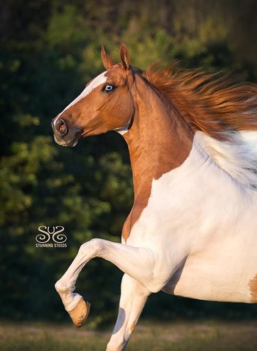 Turbo Cortez. Pinto American Saddlebred. Photo by Stunning Steeds / Cheri Prill