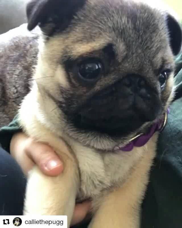 Baby Pug Dog Price In Kerala Baby Pug Dog Cute Pugs Baby Pugs