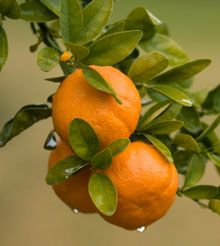 Owari Satsuma (Citrus tree) - this is the best citrus in the world. No seeds. Easy to peel with one finger. Not bitter or sour. Very sweet! I had lots of them in Texas. They grow well around the Gulf of Mexico.