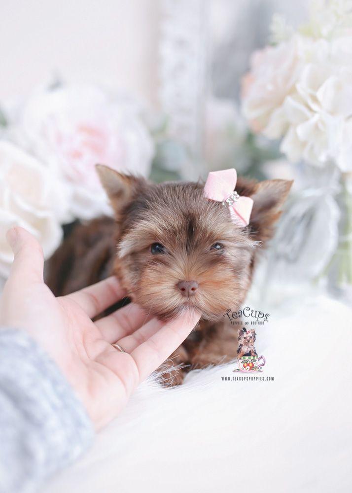 Yorkie Puppies Miami Teacups Puppies Boutique Yorkie Puppy Teacup Puppies Cute Puppy Breeds