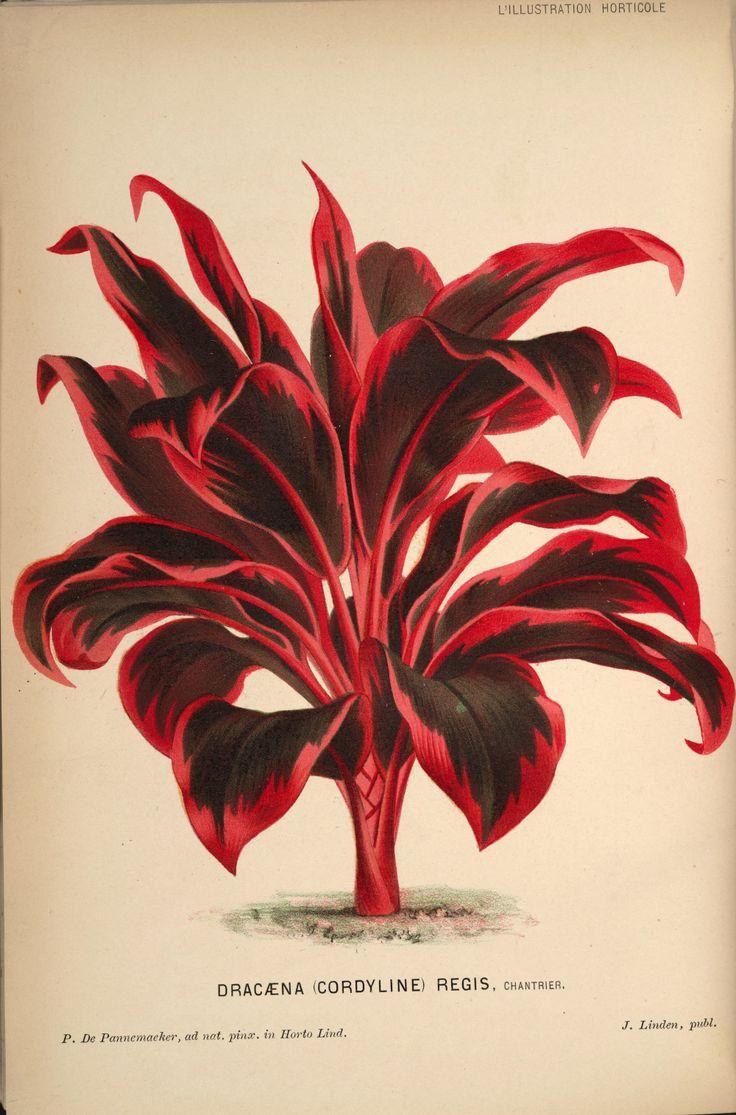 Cordyline fruticosa - circa 1871
