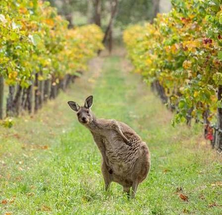 kangaroos of the barossa valley