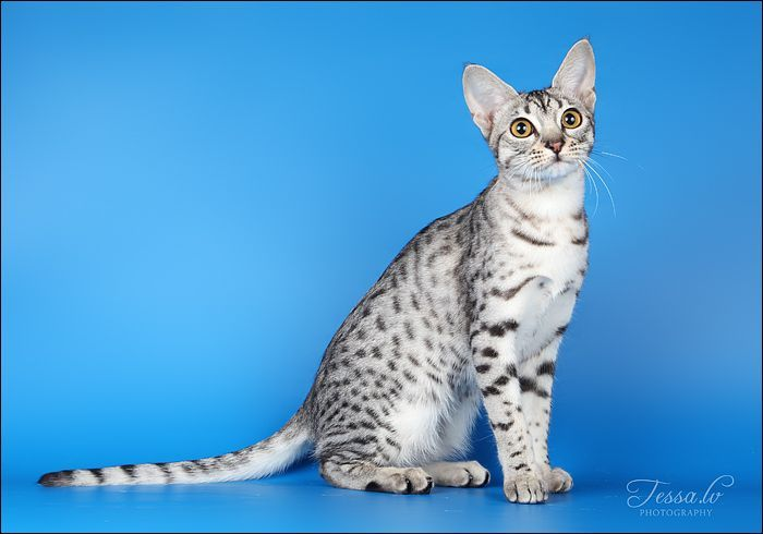 The Ocicat Cat - (With images) | Ocicat, Cat breeds, Cats
