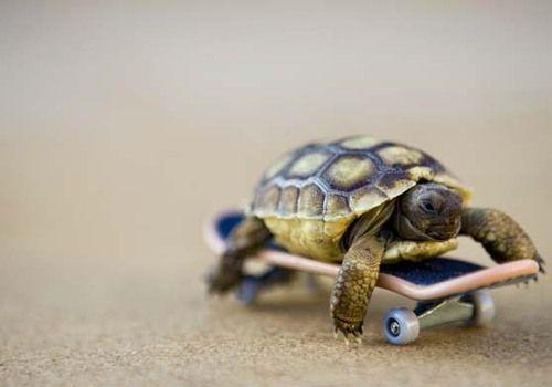 Tiny Tortoise on a Tech Deck Skateboard