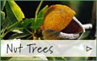Sacajawea Hazelnut Tree | Burnt Ridge Nursery & Orchards-Burnt Ridge Nursery