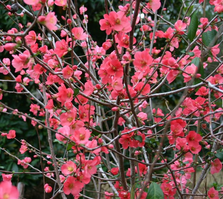 "Flowering Quince - one of the early bloomers in Spring.  I have one - you just need to keep it well-pruned and manage the ""suckers"" so it grows nicely."