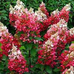 Hortensja wiechowata  'PINKY WINKY' Hydrangea paniculata /C2