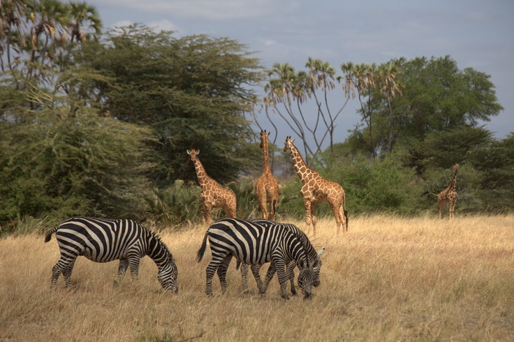 zebras and giraffes - photo #17