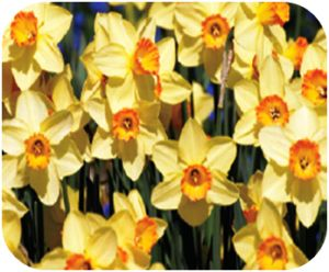 Daffodils: Ingestion of the bulb, plant or flower can cause severe vomiting, diarrhea, abdominal pain, and even possible cardiac arrhythmias or respiratory depression. Crystals are found in the outer layer of the bulbs, similar to hyacinths, which cause severe tissue irritation and secondary drooling. Daffodil ingestions can result in more severe symptoms so if an exposure is witnessed or symptoms are seen, we recommend seeking veterinary care for further supportive care.
