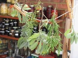 Drying herbs indoors from winter prunings