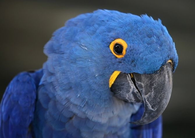 hyacinth macaw | Hyacinth Macaws For Sale - Hyacinth Macaws For Sale