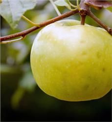 Lodi Apple - Malus x domestica: Juicy yellow apples with sweet-tart flavor Great for early season pies, applesauce and fresh eating Dependable, productive trees Early season bloom time Early harvest (July to August) Pollinate with Early Harvest, Red Jonathan Zones 3 to 8