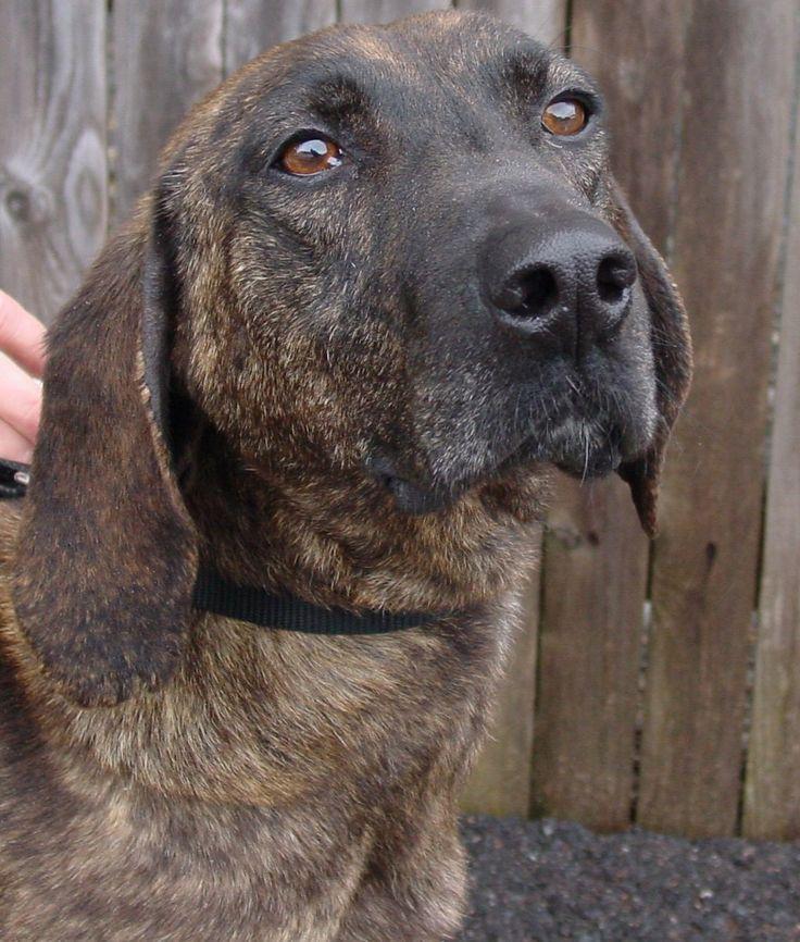 plott hound photo | Plott Hound - Razas perros | Mascotas.