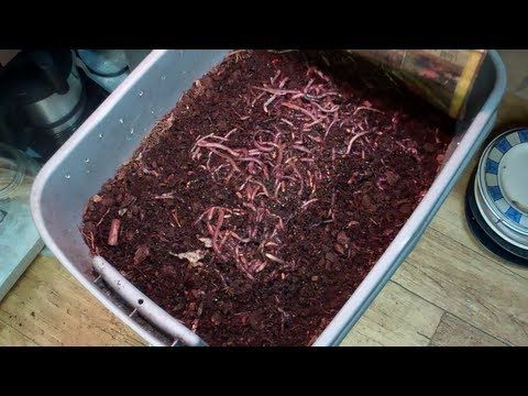 Feeding Time for The European Night Crawlers and Red Wigglers! These Are Some Happy Worms! - YouTube