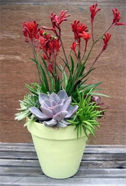 I love the anigozanthos (kangaroo paws)for the height and color