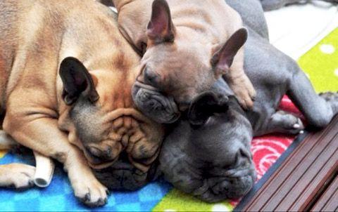 French Bulldog Pileup❤