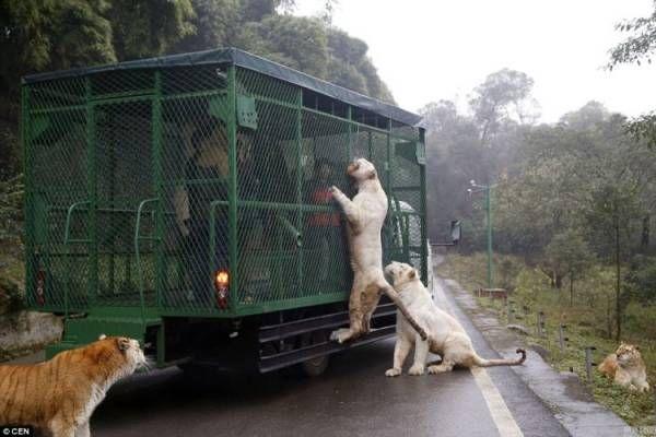 Ada yang beda dari dua kebun binatang ini. Lehe Ledu Wildlife Zoo dan Parque Safari memberi jaminan bahwa kebun binatang...