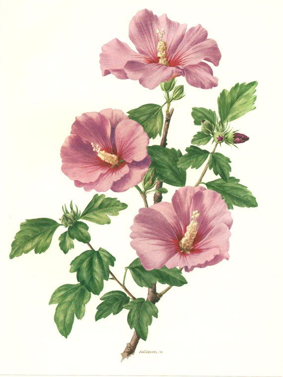Pink hibiscus flower art 1962 Vintage botanical art Purple flower art prints Floral wall