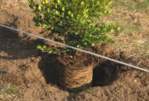 Planting the boxwood shrubs. - David Beaulieu