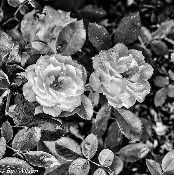 B&W Hunter Valley Gardens, Nikon shot