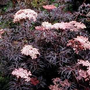Sambucus nigra Black Lace ...  I love  this plant  !!
