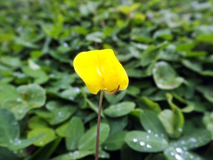 Paqueña flor amarilla crece entre los pastales de la casa. ¿Necesitas fotos como esta para el contenido de tu web? Visita: www.laweb.com.co/contenido-web/
