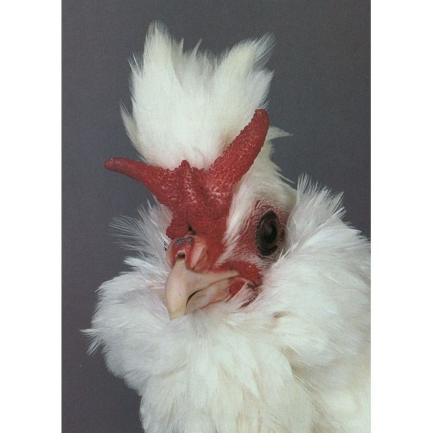 What are the environmental characteristics of chickens?