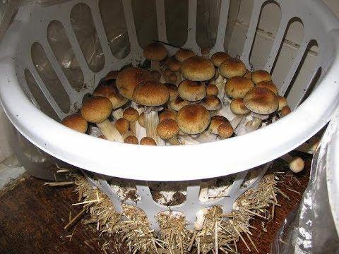 Как вырастить много белых грибов дома на подоконнике - YouTube