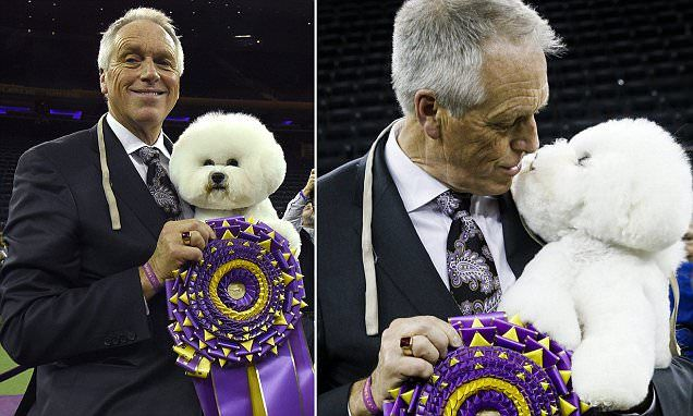 Flynn, the five-year-old Bichon Frise, won the non-sporting group at the 142nd Westminster Dog Show in New York City on his way to winning the ultimate title of Best in Show