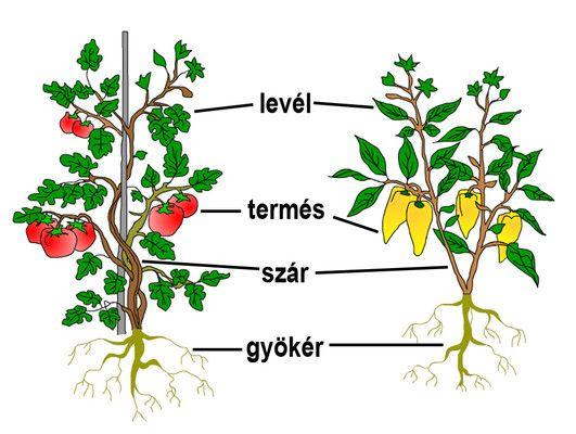 A paradicsom és a paprika gyökérzetének képe