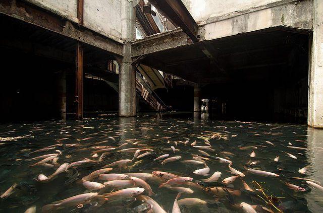 廃墟になったビルの中に大量の鯉が泳ぐ奇妙な光景【Nature】