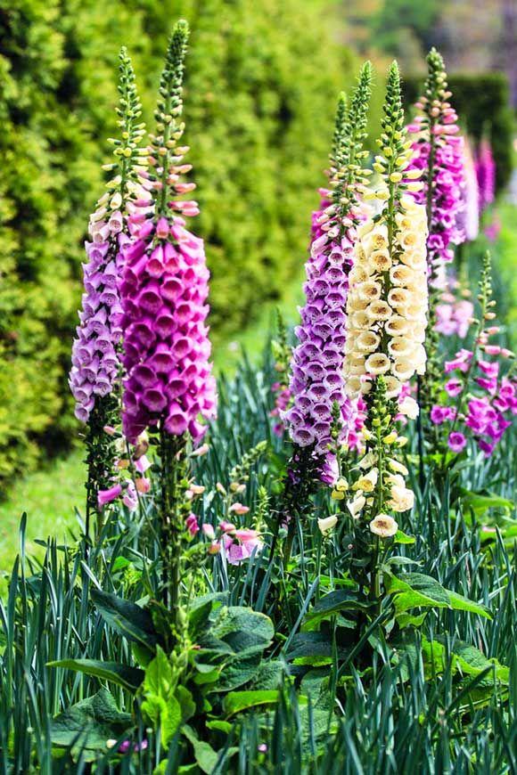17 Stunning Cottage Garden Perennials In 2020 Garden Lovers Club Perennial Garden Cottage Garden