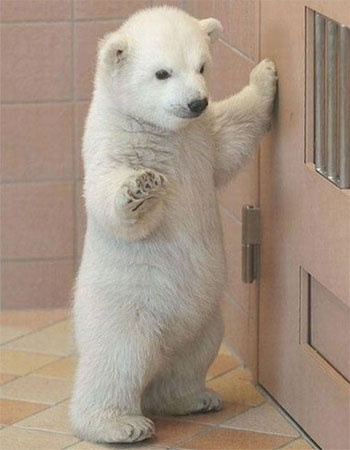 Cute Baby Polar Bear baby animals life
