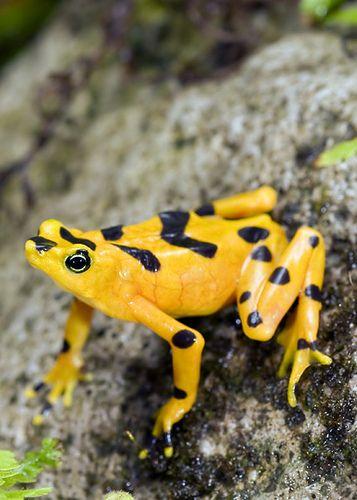 Panamanian Golden Frog Find all your grain free dog treats at Bone Yard Bakery www.boneyardbakery.net