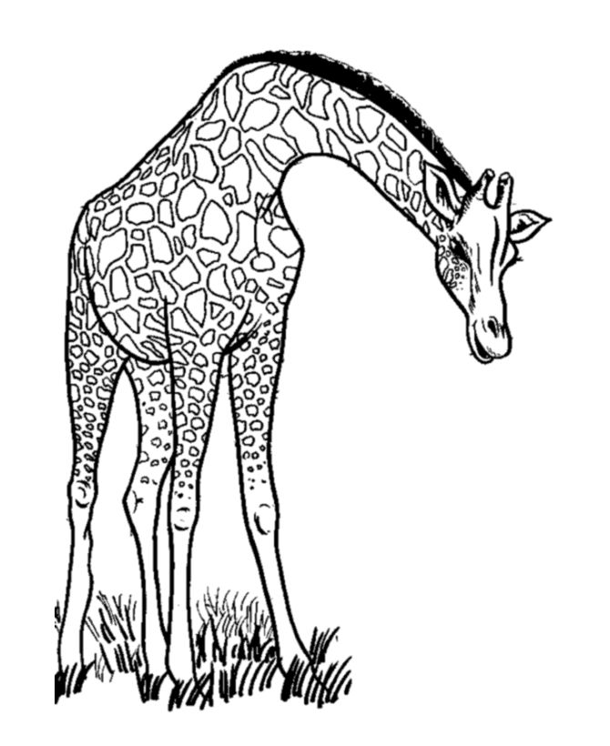 wild animal coloring page long neck giraffe eating coloring page - Giraffe Coloring Pages