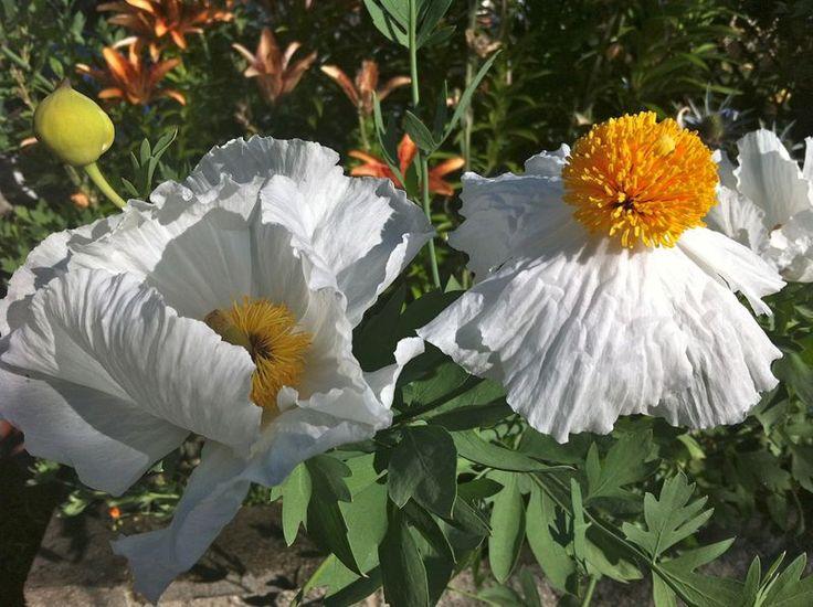 Californian Tree Poppy Romneya Coultery