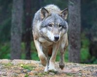 February 7, 2018 today's action Stop Wyoming's Wolf Hunts!