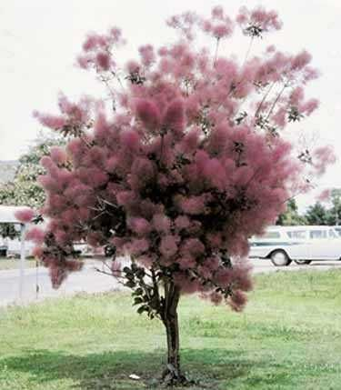Purple smoke tree. Smoke tree I was thinking one of these in the front yard for privacy.  Is there a smaller variety of this.  Pink Champagne?