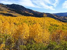 "Pando (Latin for ""I spread""), also known as The Trembling Giant, is a clonal colony of a single male Quaking Aspen (Populus tremuloides) determined to be a single living organism by identical genetic markers and one massive underground root system. The plant is estimated to weigh collectively 6,000,000 kg (6,600 short tons), making it the heaviest known organism. The root system of Pando, at an estimated 80,000 years old, is among the oldest known living organisms."