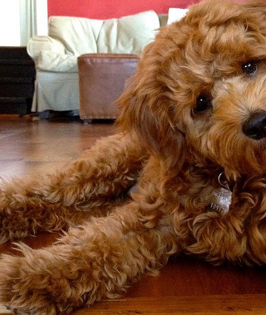 Goldendoodle Puppies San Francisco area, Goldendoodle puppies california,golden doodles