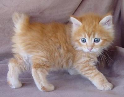 American Bobtail Cat - They have dog-like personalities, often play fetch and greet their owners at the door.