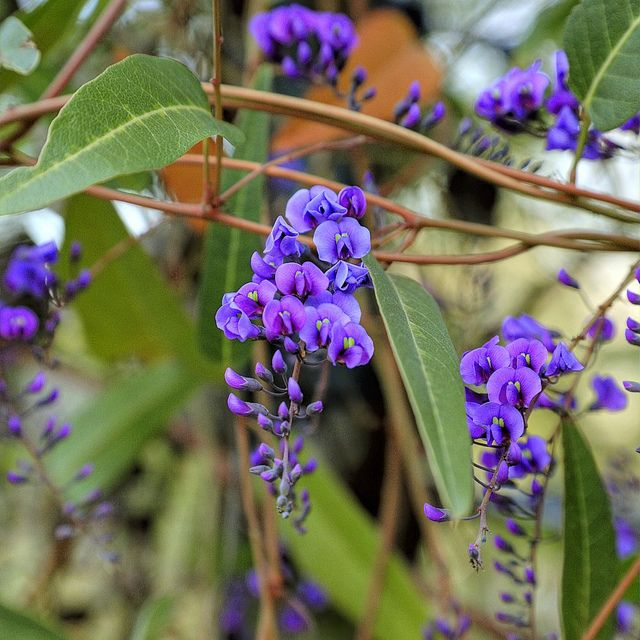 Hardenbergia comptoniana