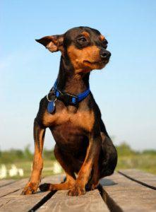 anjing ras Mini Pinscher