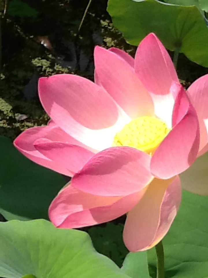 Lotus flower, Adelaide Botanical Garden