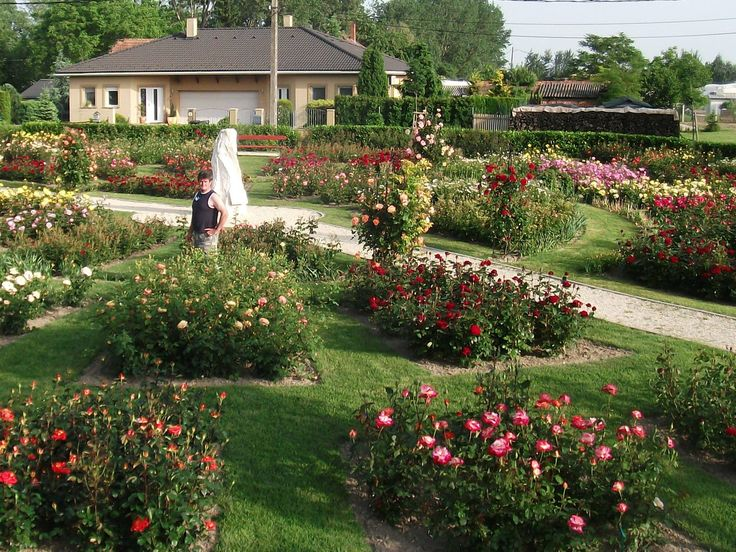 3.600 rózsatő díszíti a 1.800 lelkes Máriakálnok főterét.