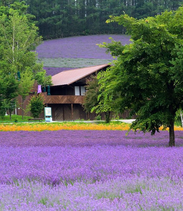 Lavender field in Furano, Hokkaido, Japan: photo by Akihisa Kitanosono ... We have been here and it is simply beautiful and fragrant! The lavender ice cream is to die for ... Brought some lavender home and made a really close gelato! A must see and try!!!