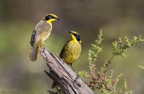 Male Yellow tufted Honey Eater West Nowra NSW Australia source Duade Paton Photography