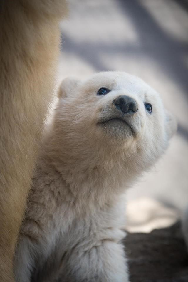 The Columbus Zoo Has Twin Polar Bear Cubs and They're So Precious.