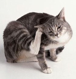 How to Get Rid of Cat Ear Mites:    Estimates: >50% of cats carry ear mites (tiny little bug-like creatures that crawl around in your cat's ears). If your cat is scratching her ears excessively, your cat might be a  carrier. Treat cats without the expensive vet bills! According to the web, all it takes is a few drops of Wesson Corn Oil in your cat's ear. Massage it in, then clean with a cotton ball. Repeat daily for 3 days. The oil soothes the cat's skin, smothers the mites, and speeds…