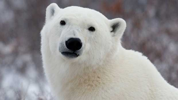 'Big shaggy dog' spotted on Fogo Island turns out to be polar bear  (CBC News 24 April 2015)
